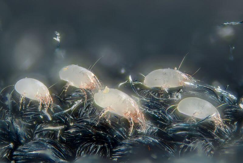Ácaros del polvo casero. Cada uno mide 0,3 mm de largo. Foto por: Gilles San Martin/Wikimedia (CC)